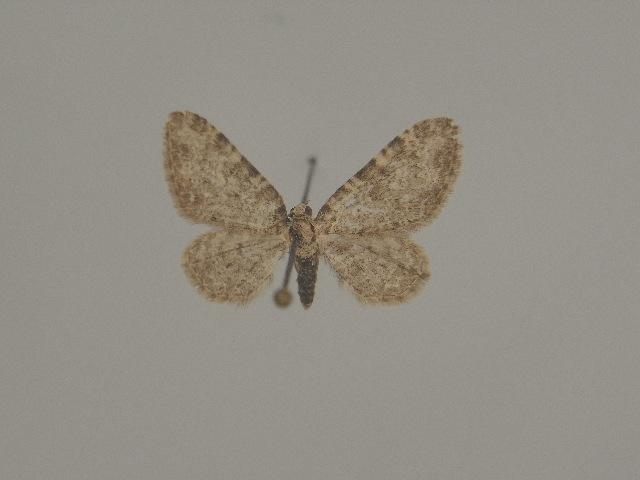 Image of <i>Eupithecia unitaria</i> Herrich-Schäffer 1852
