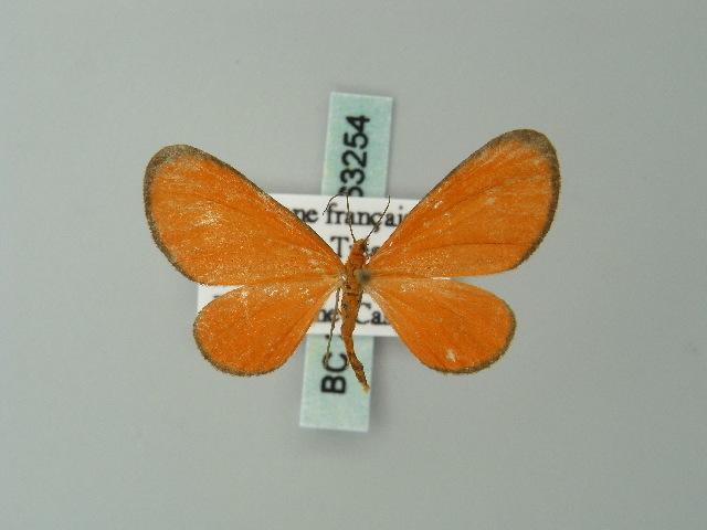 Image of Eudulophasia