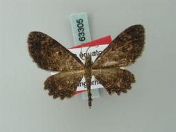 Image of <i>Collix biokoensis</i> Herbulot 1999