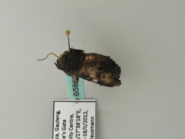 Image of <i>Eutelia catephioides</i>