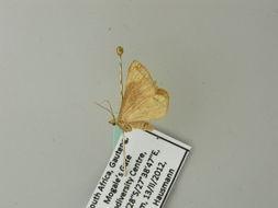 Image of <i>Conchylia sesquifascia</i> Prout 1913