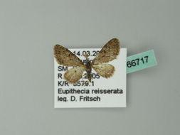 Image of <i>Eupithecia reisserata</i> Pinker 1976
