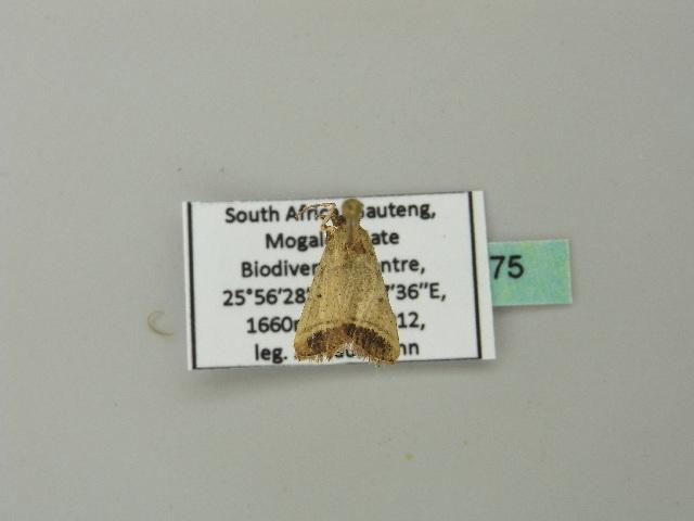 Image of <i>Tegulifera oblunata</i> Warren 1897