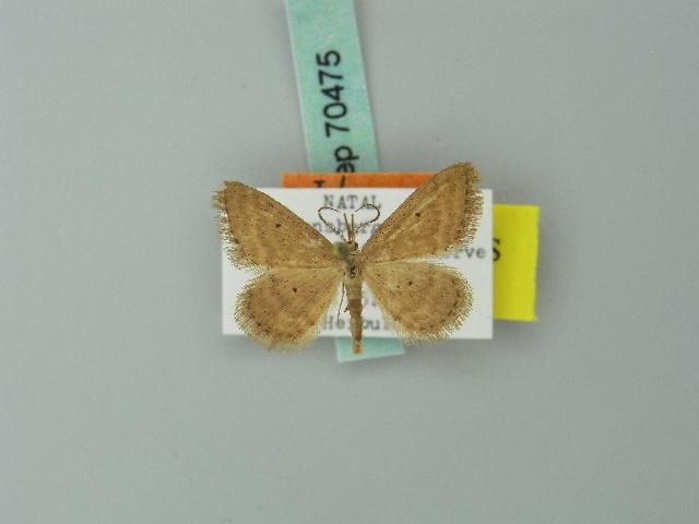 Image of <i>Idaea draconigena</i> Herbulot 1980