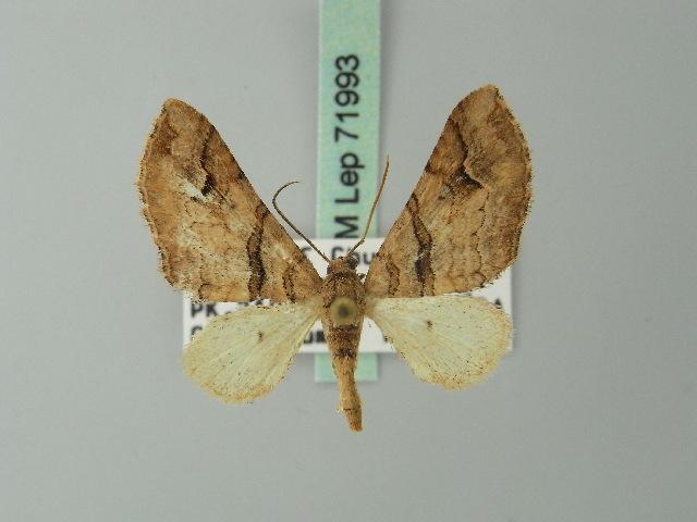 Image of Pachrophylla