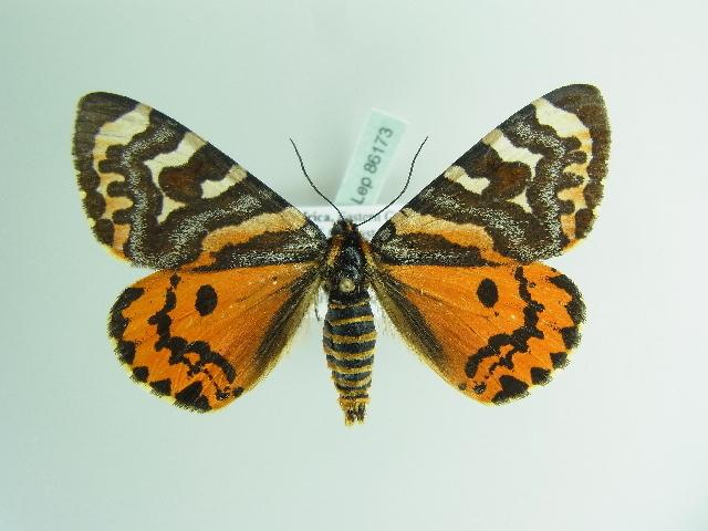 Image of Callioratis