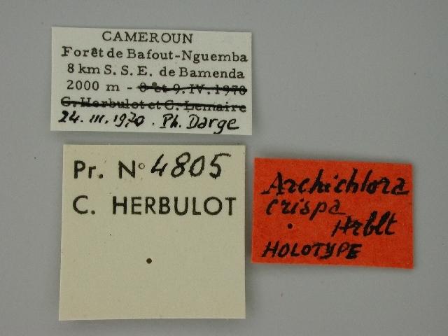 Image of <i>Archichlora jacksoni crispa</i>