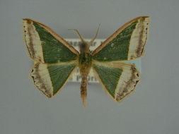 Image of <i>Archichlora subrubescens</i> Herbulot 1960