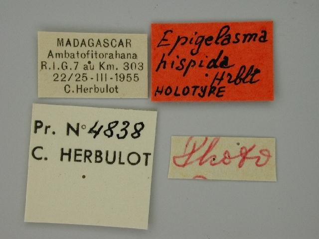 Image of <i>Epigelasma hispida</i> Herbulot 1972