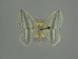 Image of <i>Epigelasma olsoufieffi</i> Herbulot 1972