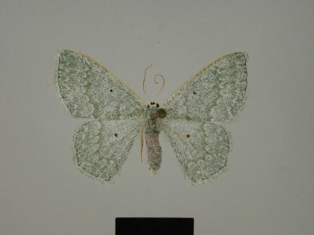 Image of <i>Epigelasma perineti</i> Herbulot 1972