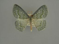 Image of <i>Epigelasma praenuntia</i> Herbulot 1972