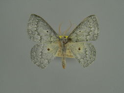 Image of <i>Epigelasma crenifera</i> Herbulot 1970