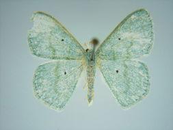 Image of <i>Epigelasma holochroa</i> Herbulot 1972