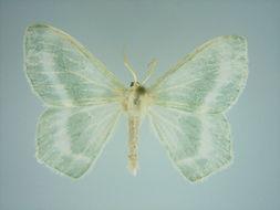 Image of <i>Epigelasma nobilis</i> Herbulot 1954