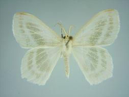 Image of <i>Epigelasma radiata</i> Herbulot 1972