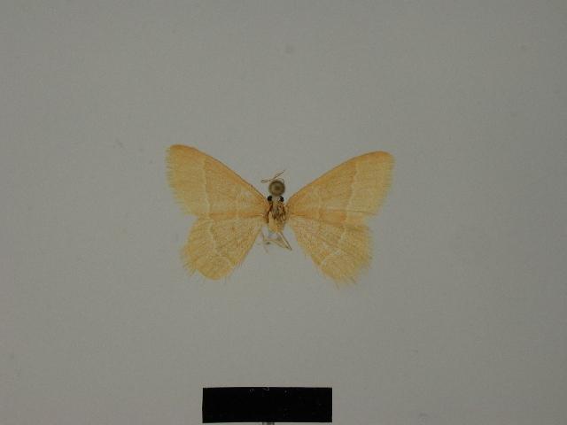 Image of <i>Idiochlora bischofi</i>