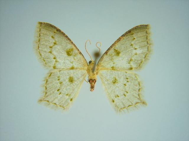 Image of <i>Lathochlora magna</i> Herbulot 1996