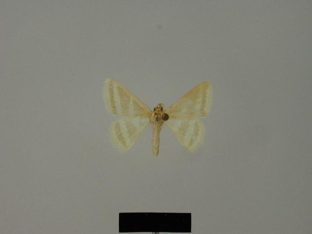 Image of <i>Mixocera albistrigata</i> ssp. <i>politzari</i> Hausmann 1997