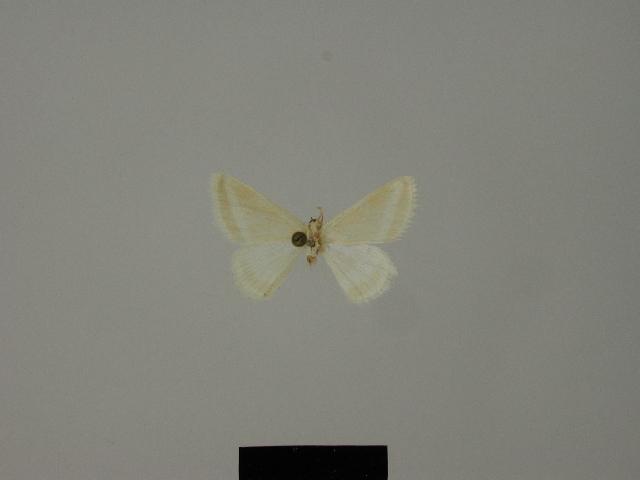 Image of <i>Mixocera wiedenorum</i> Hausmann 1997