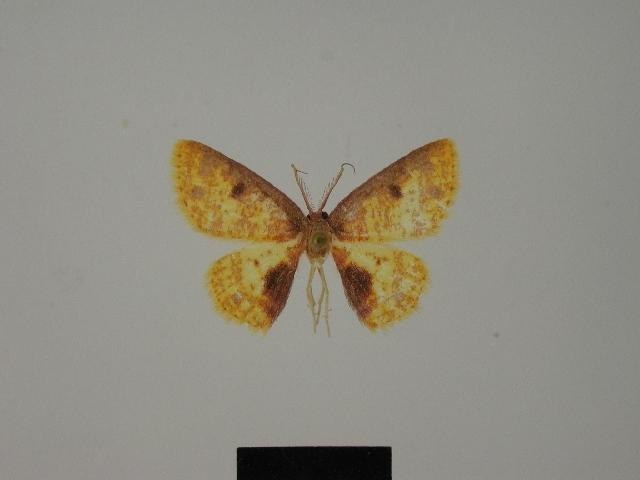 Image of <i>Chrysocraspeda abdominalis</i> (Herbulot 1984)