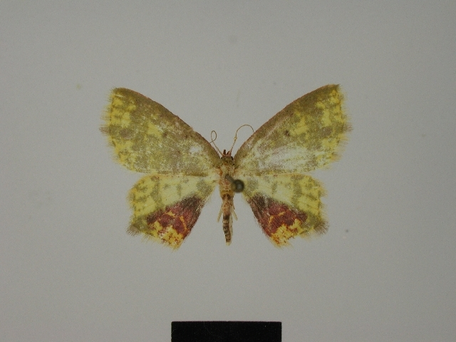 Image of <i>Chrysocraspeda dargei</i>