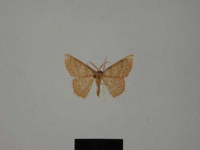 Image of <i>Pleuroprucha guadelupa</i>
