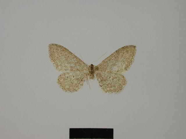 Image of <i>Idaea saldaitisi</i>