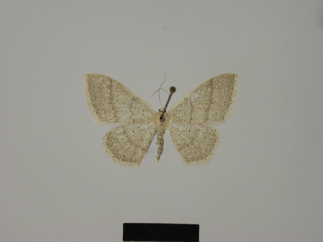 Image of <i>Idaea lusohispanica</i> Herbulot 1990