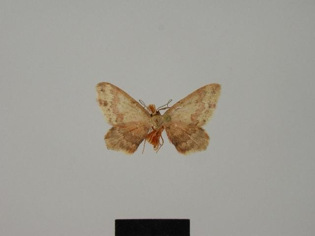 Image of <i>Lobocleta tricuspida</i> Herbulot 1985