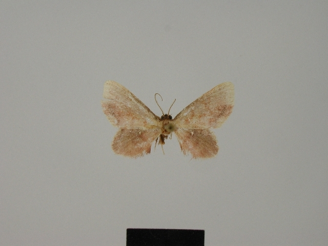 Image of <i>Lobocleta martinicensis</i> Herbulot 1985