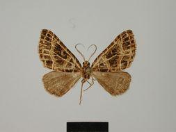 Image of <i>Parortholitha cubitata</i> Herbulot 1981