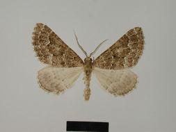 Image of <i>Parortholitha moerdyki</i> Herbulot 1980