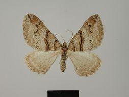 Image of <i>Pareulype berberata cinerea</i>