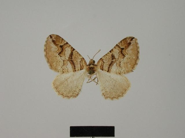 Image of <i>Pareulype berberata maindroni</i> Herbulot 1977