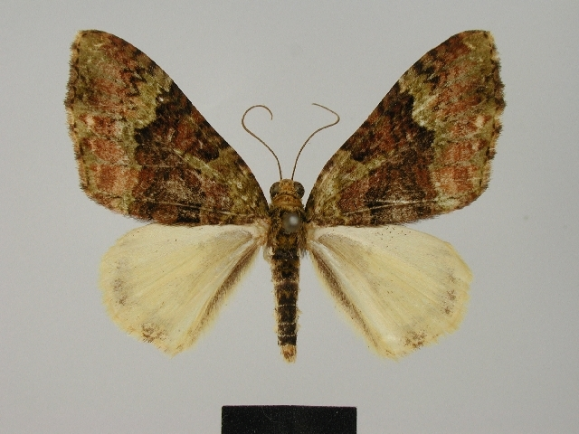 Image of <i>Euphyia flavidula</i> Herbulot 1988