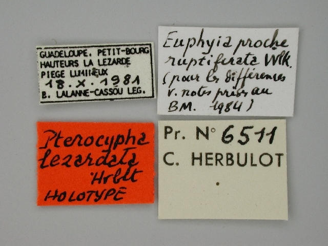 Image of <i>Pterocypha lezardata</i> Herbulot 1988