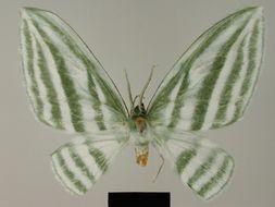 Image of <i>Dyspteris gigantea</i> Herbulot 1988