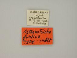Image of <i>Asthenotricha furtiva</i> Herbulot 1960