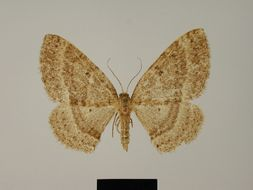 Image of <i>Asthenotricha grandis</i> Herbulot 1997