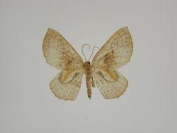Image of <i>Asthenotricha circumscripta</i> Herbulot 2001