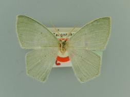 Image of <i>Prasinocyma leucopis exilior</i> Fletcher 1958