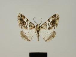 Image of <i>Alcis hodeberti</i> Herbulot 1987