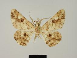 Image of <i>Cleora dothionis legalis</i> Herbulot 1988