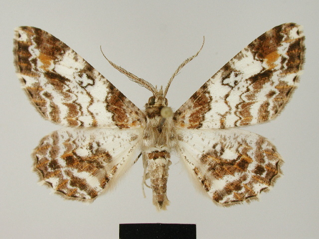 Image of <i>Cleora illustraria</i> ssp. <i>sulawesica</i> Herbulot 1993