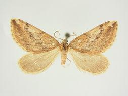 Image of <i>Lithostege biermis</i> Prout 1922