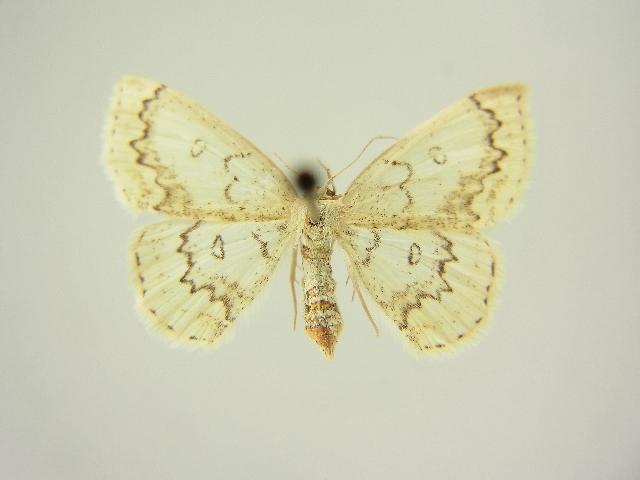 Image of <i>Cyclophora annulata</i> Schultze