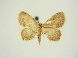 Image of <i>Idaea dimidiata panormitana</i>