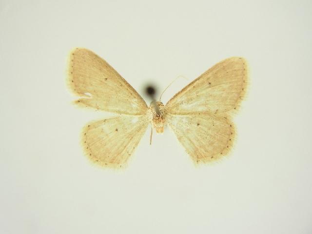 Image of <i>Idaea obsoletaria</i> ssp. <i>dierli</i> Hausmann 1991