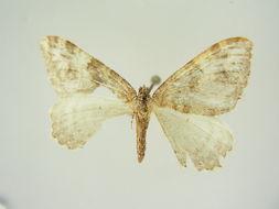 Image of <i>Hydria confusaria epiocosma</i>